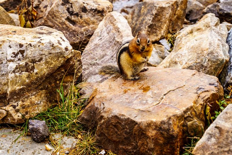 Chipmunk on the trail from the Plain of Six Glaciers in Lake Louise, Banff National Park, Alberta stock photos