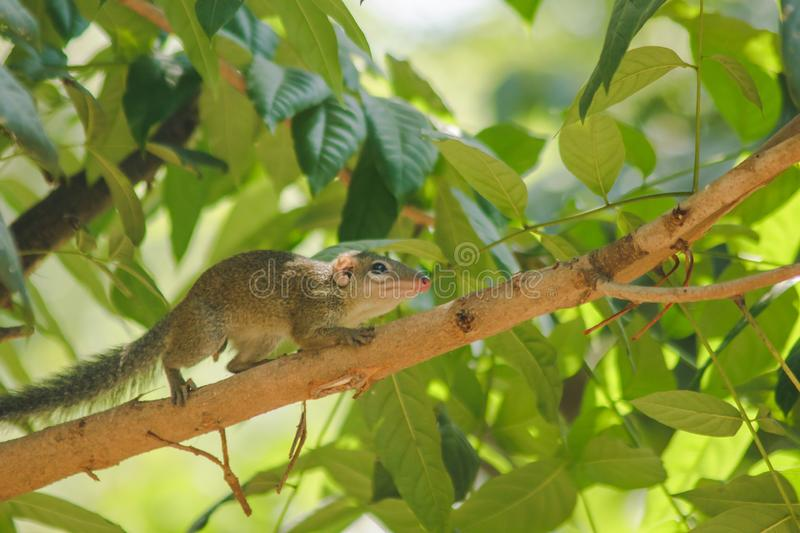 Chipmunk is on a tree with small mammals. Has a general appearance similar to squirrels royalty free stock image