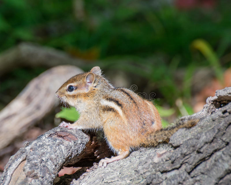 Chipmunk on A Tree Stump stock photo