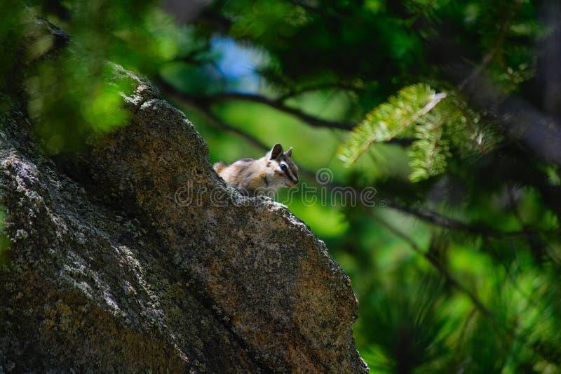 Chipmunk Umieszczający na skale W drewnach zdjęcia stock