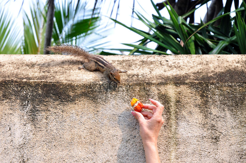 Chipmunk wants to taste something. Which is gaved by woman hand royalty free stock photo