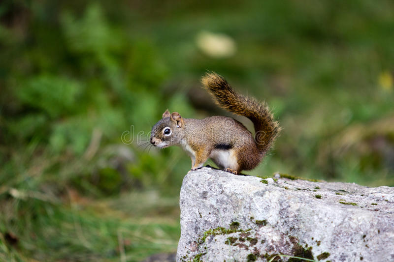 Chipmunk in wildem stockfotografie