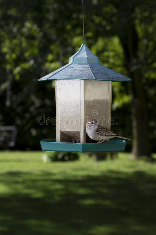 Download Chipping Sparrow stock photo. Image of beak, park, eating - 25970794