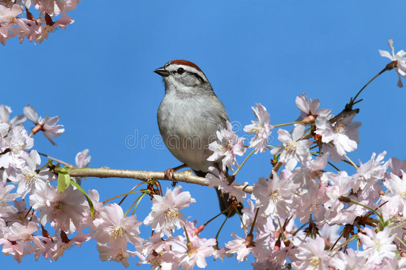 Chipping Sparrow With Cherry Blossoms royalty free stock image