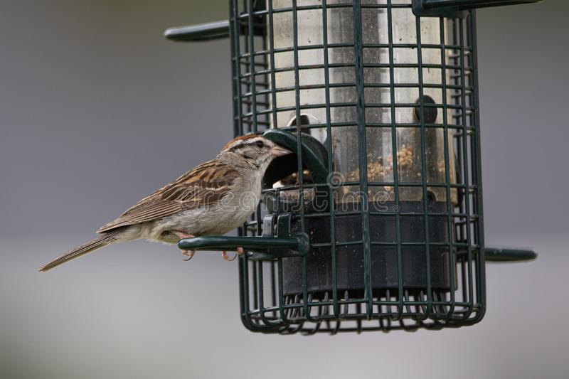 Chipping Sparrow at feeder in Muskoka Spizella passerina stock photography