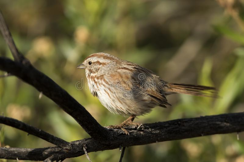 Chipping sparrow royalty free stock photos