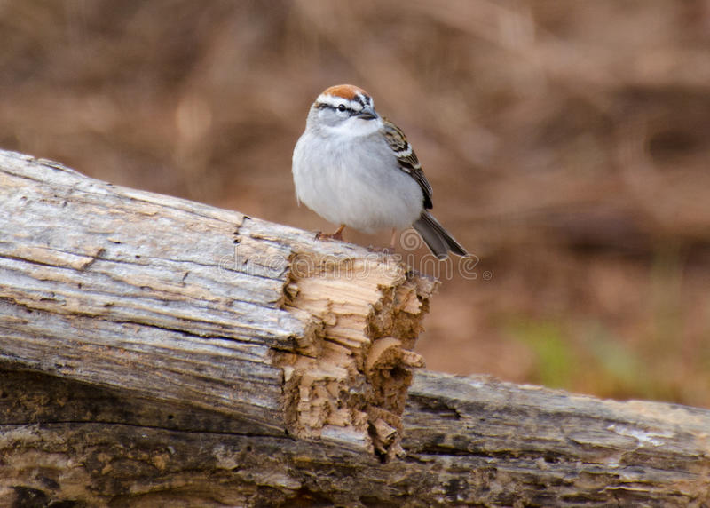 Chipping Sparrow. On a log perch in Athens Georgia royalty free stock photo