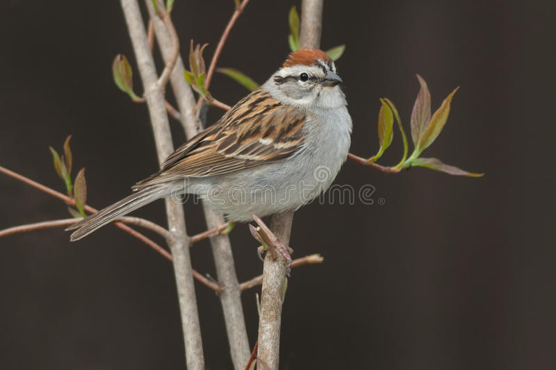 Chipping Sparrow royalty free stock images