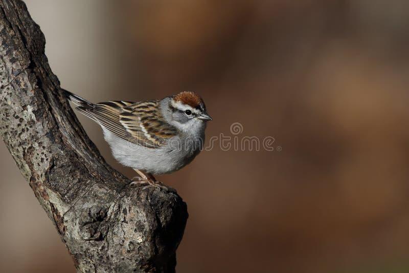 Chipping sparrow portrait stock photos