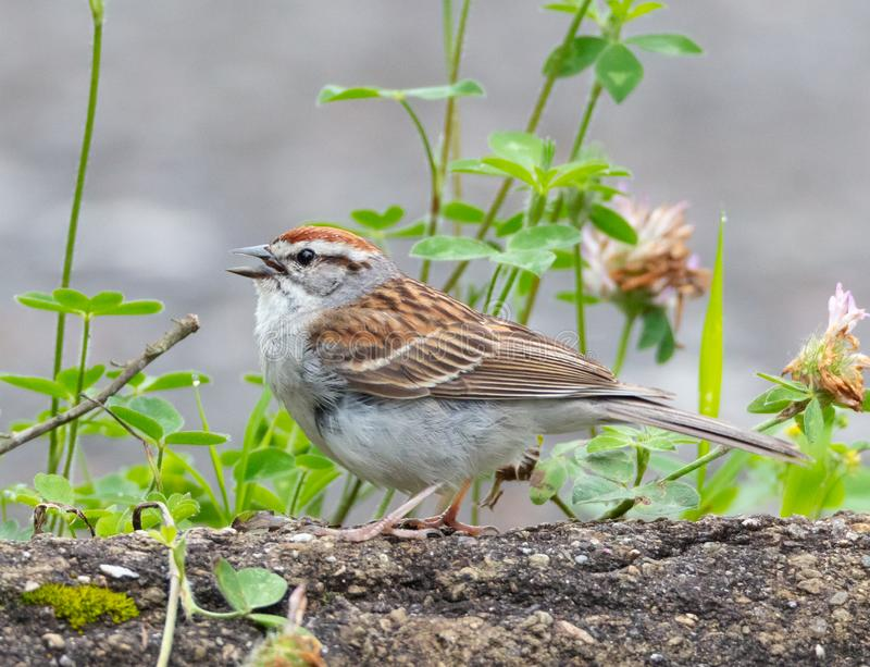 Chipping Sparrow Side View royalty free stock photo