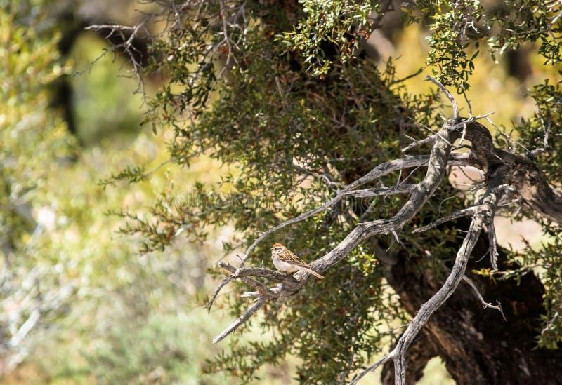 Chipping Sparrow Spizella passerina In Mountain Mahogany Shrub. In Colorado stock photography