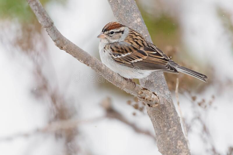 Chipping Sparrow - Spizella passerina. A non-breeding Chipping Sparrow is perched on a branch. Taylor Creek Park, Toronto, Ontario, Canada royalty free stock image
