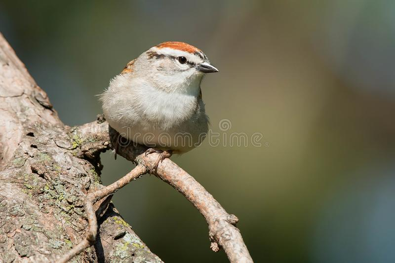 Chipping Sparrow - Spizella passerina stock photography