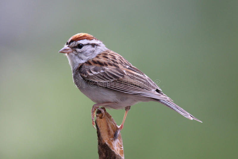 Chipping Sparrow royalty free stock image