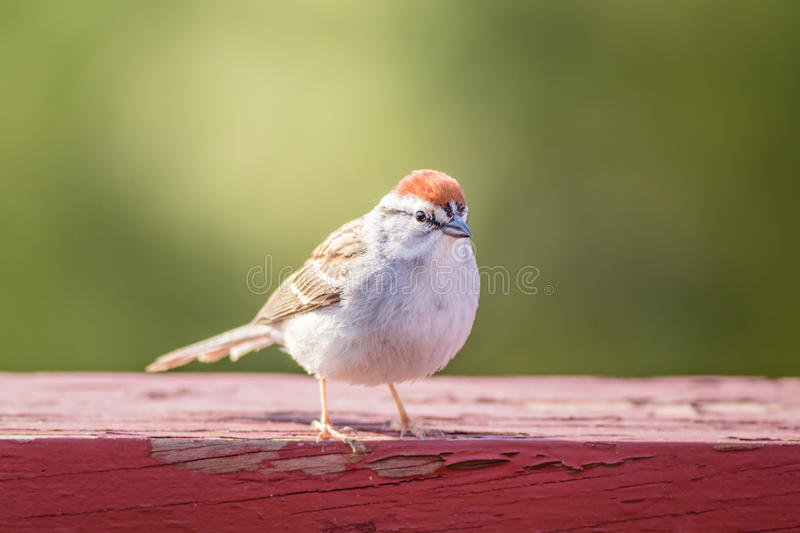Chipping Sparrow Spizella Passerina royalty free stock image