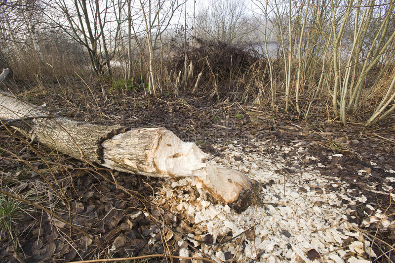 Chippings around fallen tree stock photo