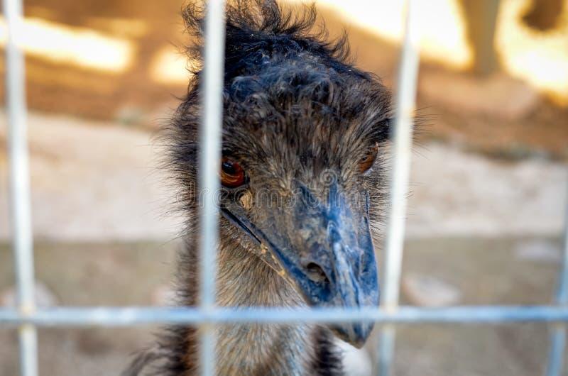 Chipre-Larnaca Primer de la cabeza australiana de la avestruz del emú en jaula del parque del parque zoológico foto de archivo