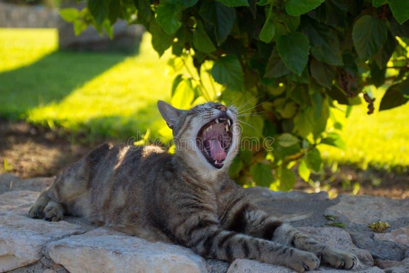 chipre Protaras El gato bosteza debajo de Bush color de rosa imagenes de archivo