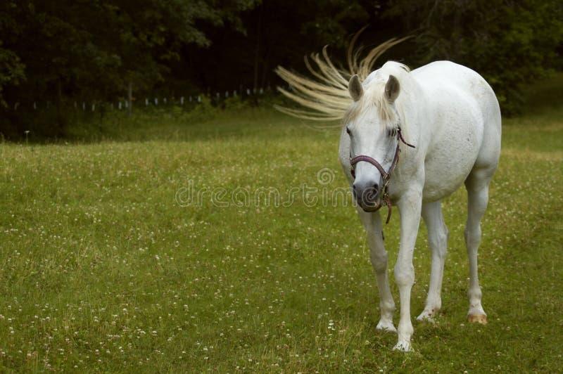 Chiquenaude d'arrière - cheval Arabe photographie stock libre de droits