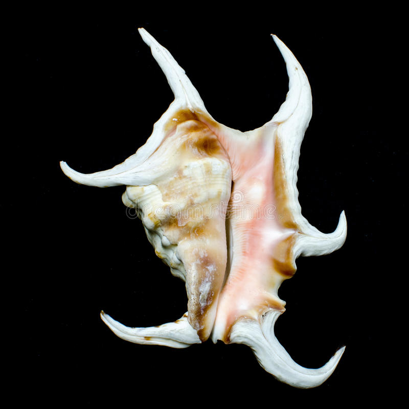 Chiragra spider conch seashell royalty free stock images