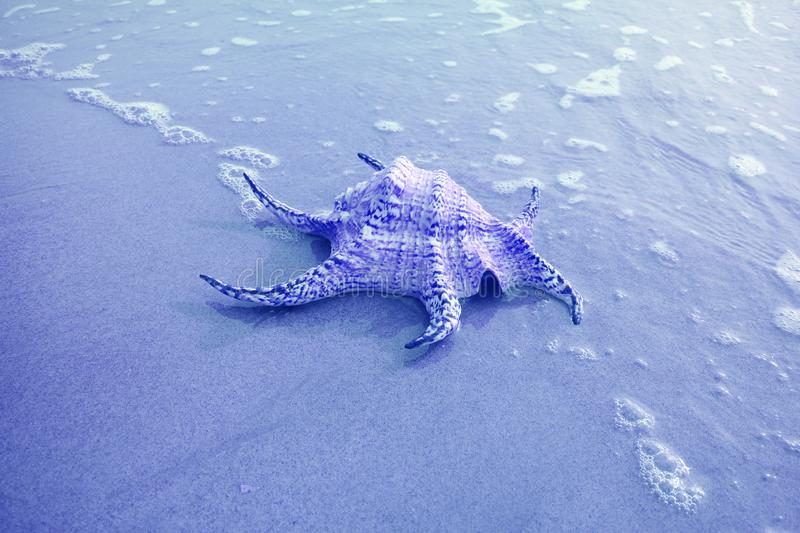 Chiragra Spider Conch Shell Isolate on Sand Beach with Seafoam in Blue Color stock photos