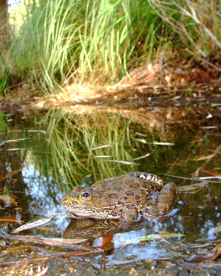 Chiricahuan Leopard Frog in desert stream royalty free stock images