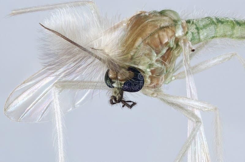 Chironomidae komara portret fotografia stock