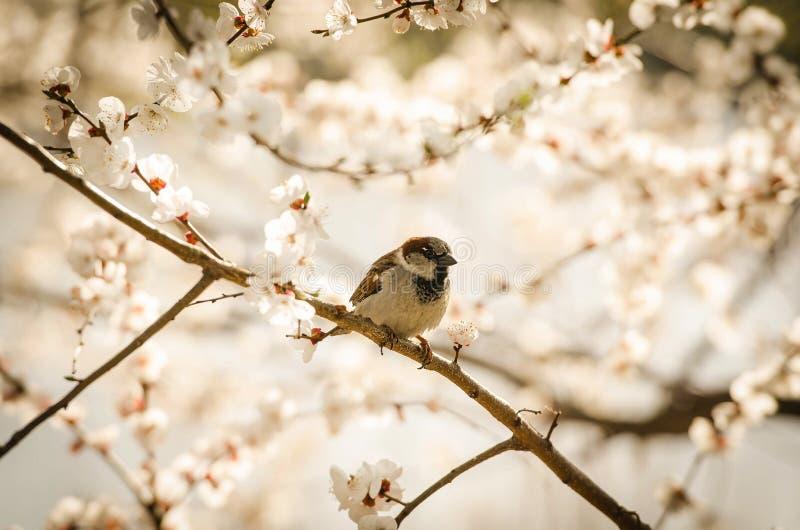 Chirrido - gorrión en una puntilla de un árbol en primavera foto de archivo libre de regalías