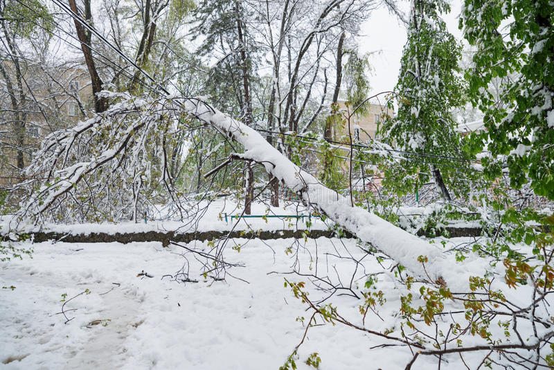 Chisinau, Moldova - 20 avril 2017 : La branche d'arbre avec le ressort vert laisse cassé par la chute de neige importante, dans l photo libre de droits