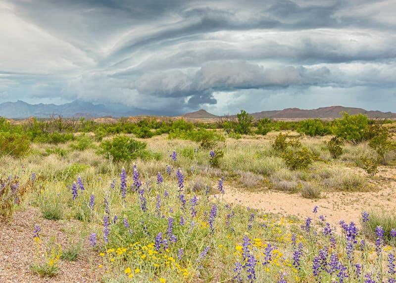 Chisos berg, blåklockor, pappers- blommor, stor krökningnationalpark, TX royaltyfri fotografi