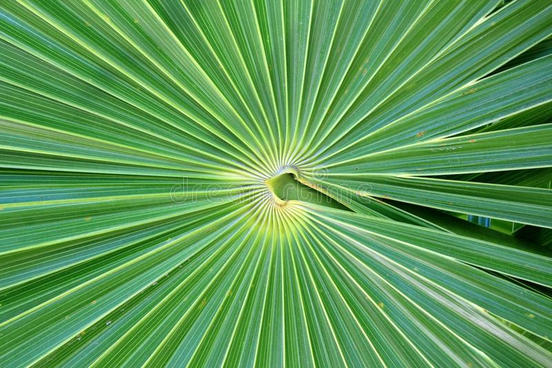 Chit Florida Thatch Palm THRINAX RADIATA. In mexico stock image
