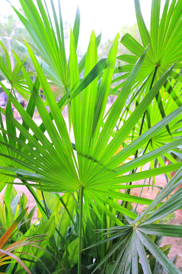 Download Chit Palm Ree Leaves In Yucatan Rainforest Mexico Stock Image - Image: 20585033