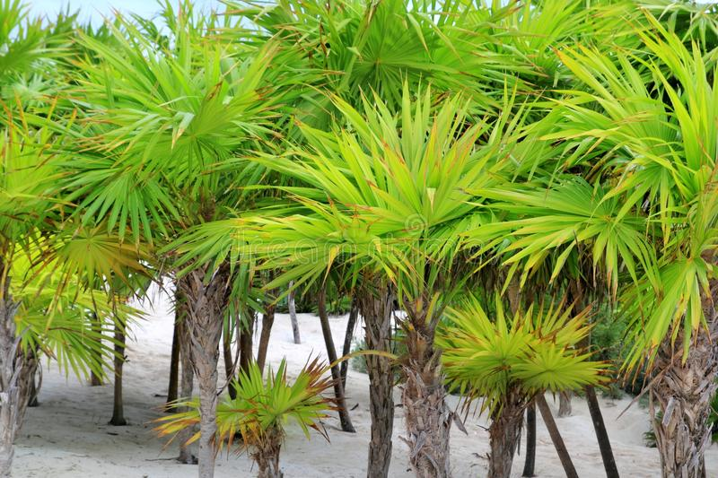Chit Palm Trees In Caribbean Beach Sand Tulum Royalty Free Stock Photo