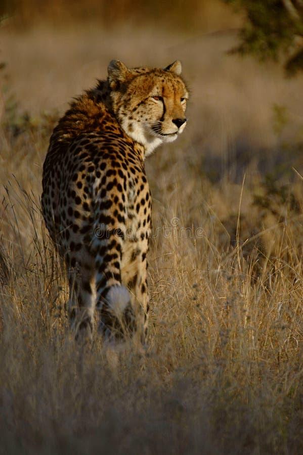 Download Chita imagem de stock. Imagem de savannah, safari, grassland - 10056511