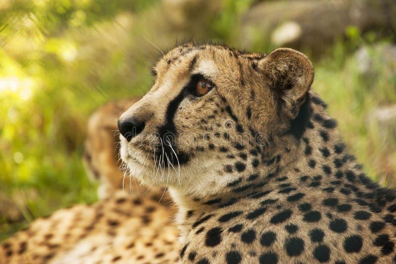 Download Chita foto de stock. Imagem de olhar, macho, grande, cheetah - 26509364