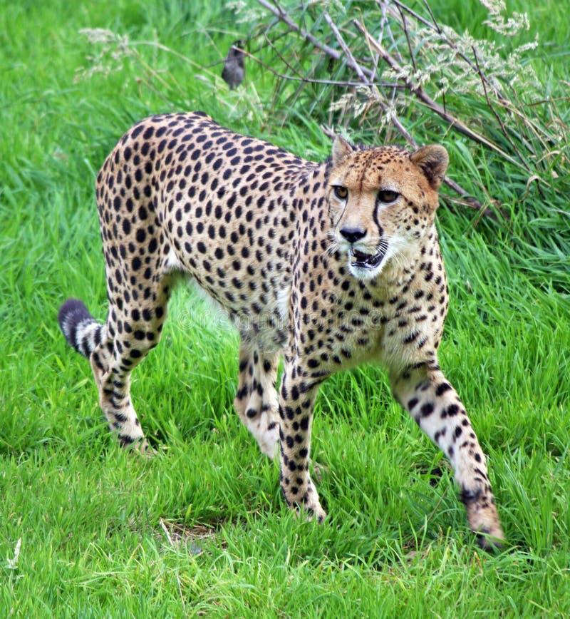 Download Chita imagem de stock. Imagem de cheetahs, prowling, animais - 8453859