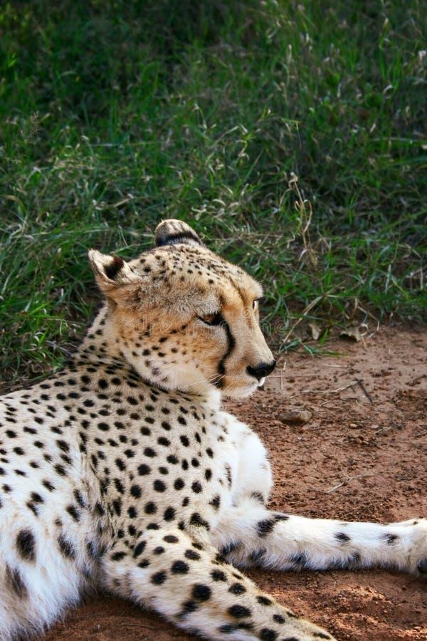 Chita, Acinonyx jubatus, encontro próximo na Reserva Natural Mokolodi, Gaborone, Botsuana foto de stock royalty free