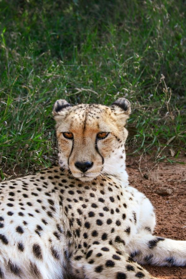Chita, Acinonyx jubatus, retrato próximo na Reserva Natural Mokolodi, Gaborone, Botsuana imagem de stock royalty free