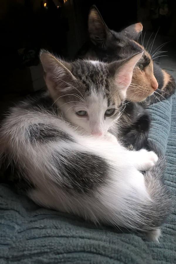 Chita Cat And Kitten fotografia de stock