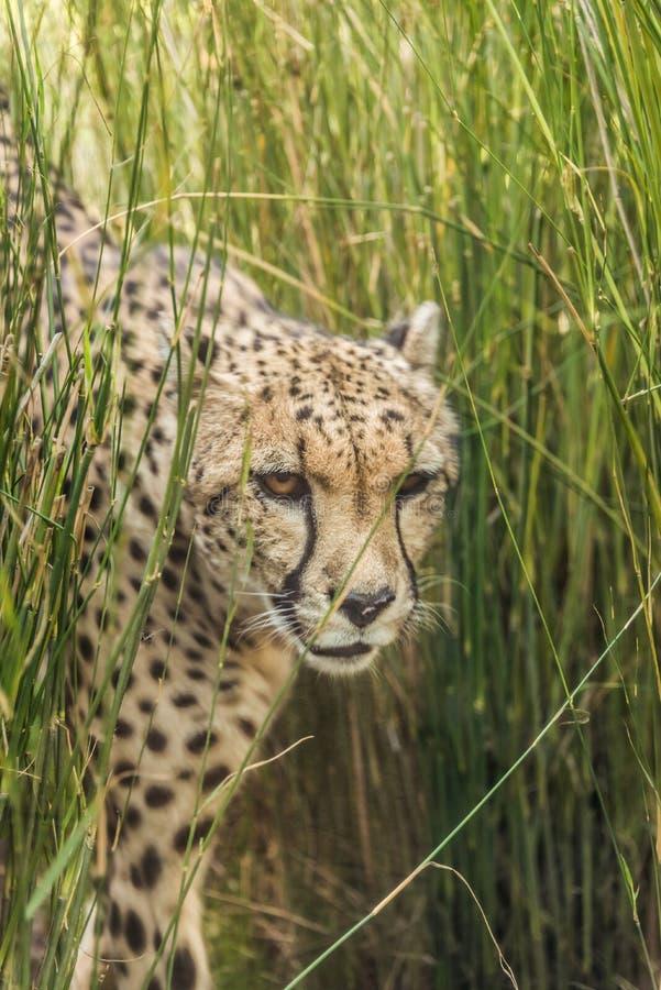 Chita curiosa que olha com cuidado Animal felino rápido imagens de stock
