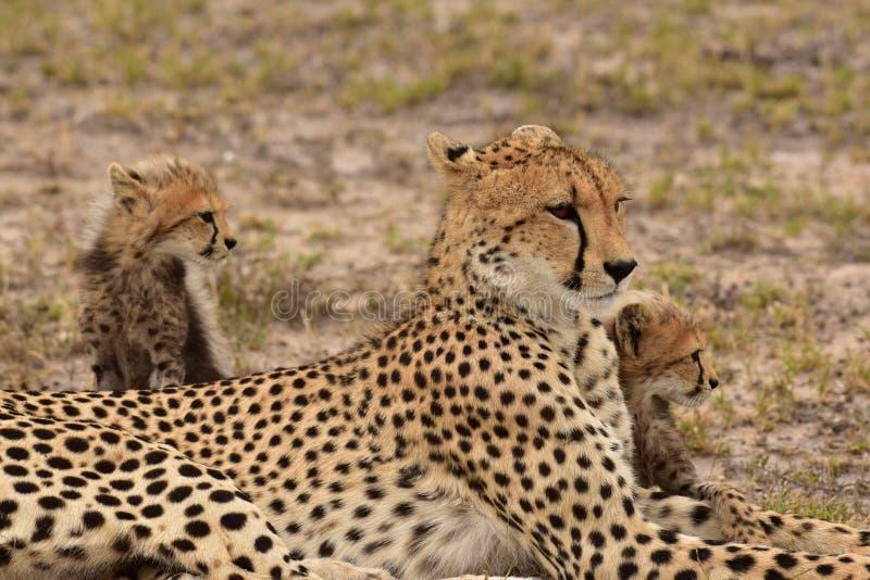 Chita da mãe com dois filhotes foto de stock royalty free