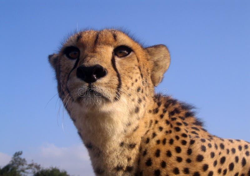 Download Chita em África do Sul foto de stock. Imagem de áfrica - 80101874