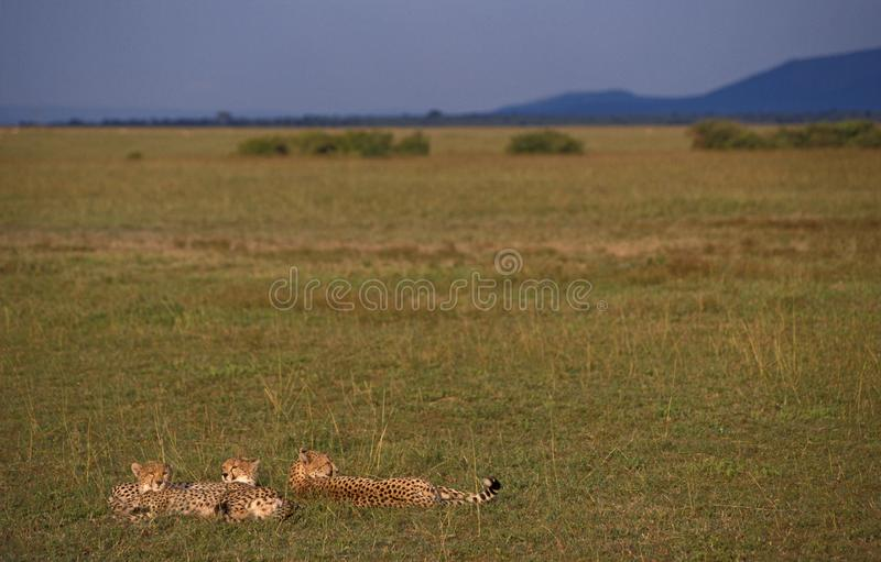 Chita, Jachtluipaard, jubatus do Acinonyx imagem de stock