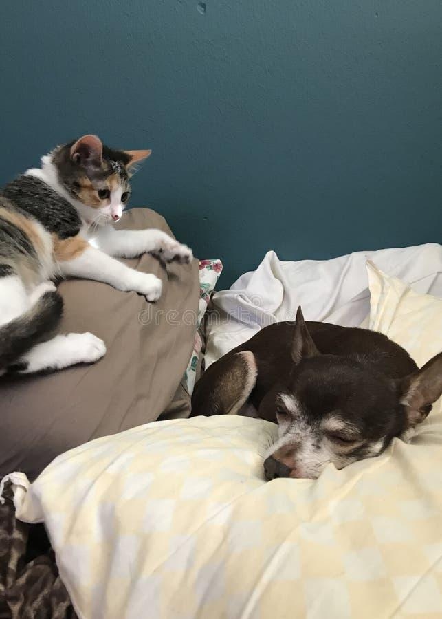 Chita Kitten And Chihuahua imagem de stock royalty free