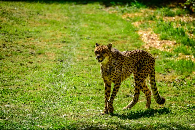 Chita na passarela no jardim zoológico Reino Unido imagem de stock