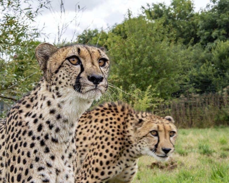 Chita no captiveiro, par da criação de animais fotos de stock royalty free