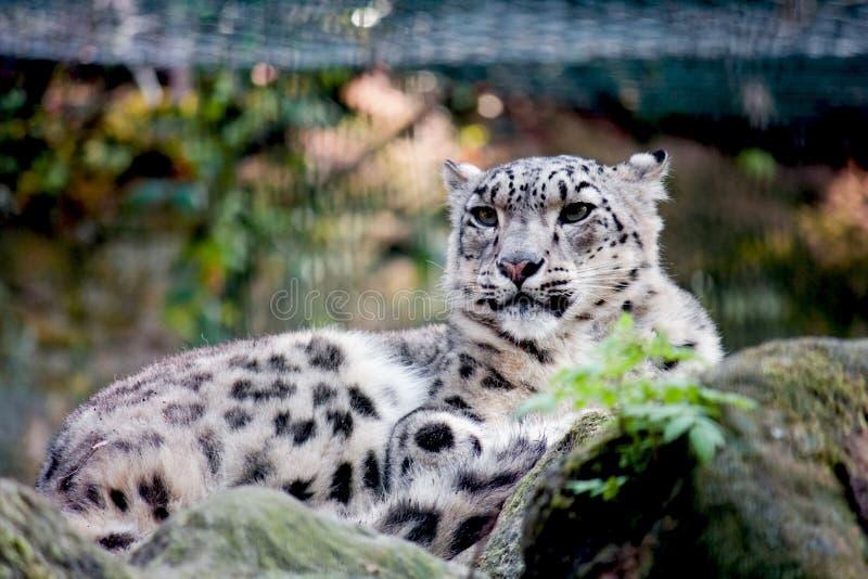 Chita no jardim zoológico fotografia de stock royalty free