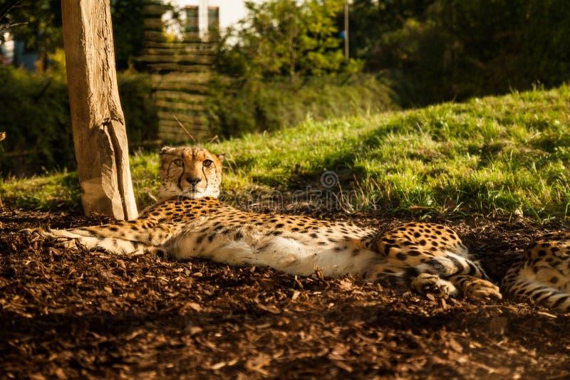 Chita no jardim zoológico de Praha imagem de stock