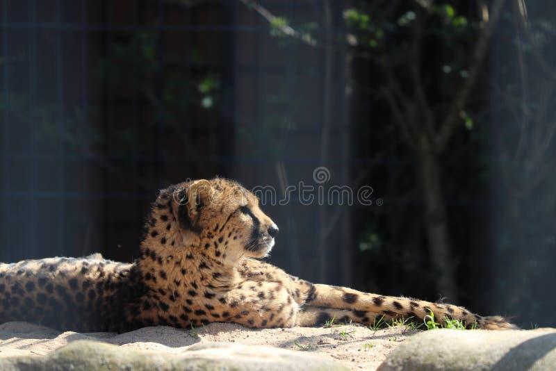 Chita no jardim zoológico em Estugarda foto de stock royalty free