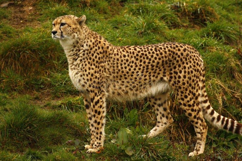Chita o animal o mais rápido do ` s do mundo imagem de stock royalty free